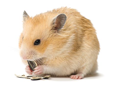 1 raças-hamster-2