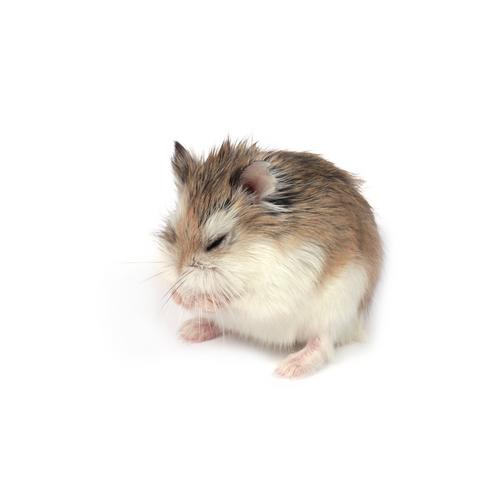 1 raças-hamster-3