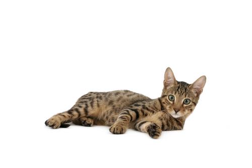 Conheça os gatos mais raros do mundo