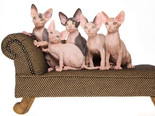 Conheça os 10 gatos mais raros do mundo