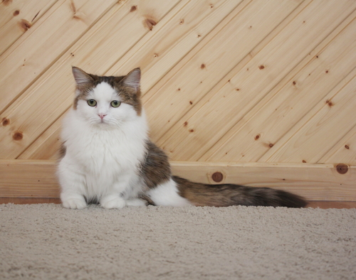 Gatos mais raros confira as raças