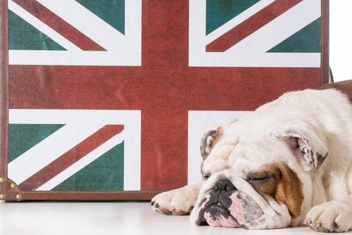 O Buldogue Inglês, um cão de personalidade muito agradável