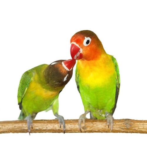 Agaporni, um pássaro muito especial