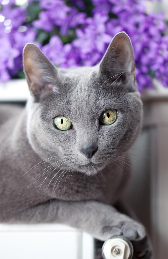 O Azul Russo: a realeza felina