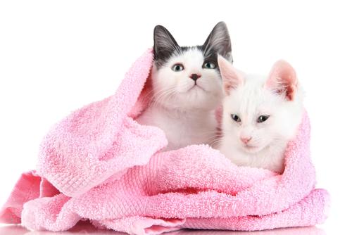 Devemos dar banho em nossos gatos?