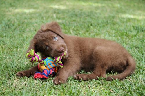 Como fazer brinquedos caseiros para seu cão
