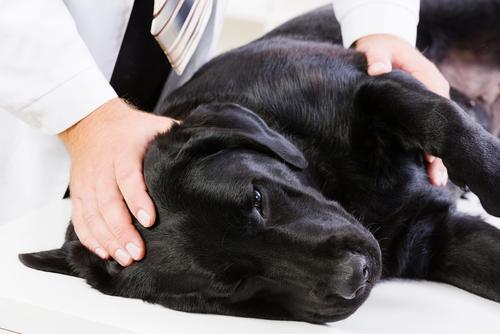 Conheça os impactos da artrose canina