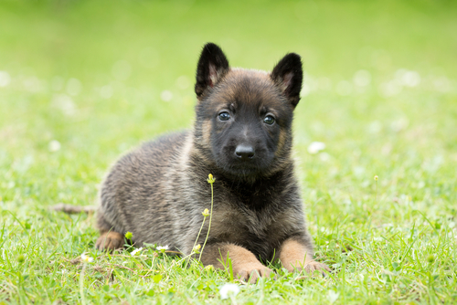 Como conseguir que seu cão obedeça a ordem de se deitar