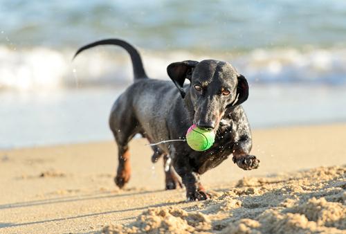 cachorro-brincando