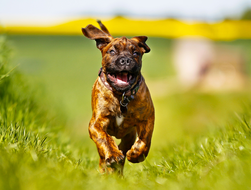 cachorro correndo