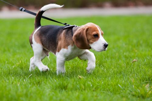 Como ensinar seu cão de passeio