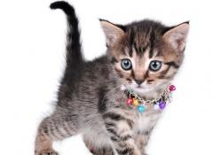 chocalho-gato