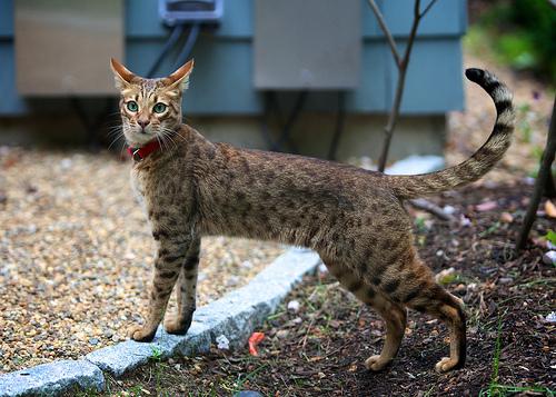gato-ashera-3