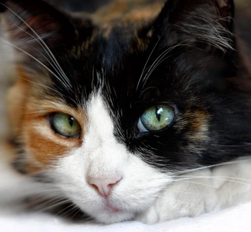 Os padrões mais comuns de cores dos gatos