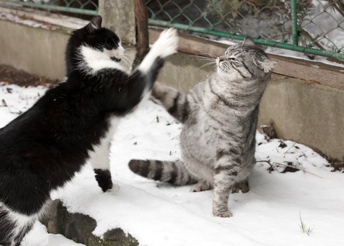 gatos-lutando-2