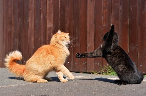 Os gatos e o instinto de luta: Por que eles brigam?