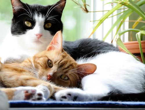 Características do cio dos gatos