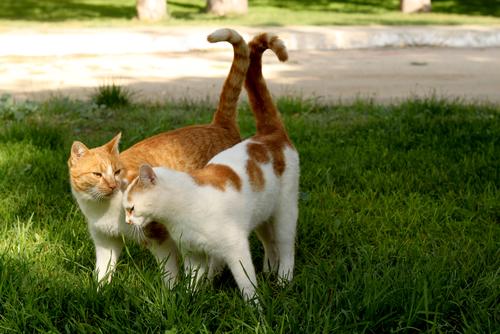 O ciclo sexual dos gatos