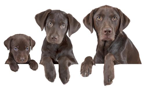 Como calcular a idade dos cães em anos humanos