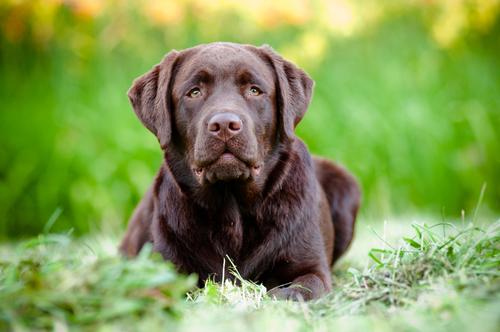 Aparência do Labrador Retriever