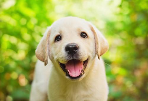 Labrador Retriever: a nobreza canina
