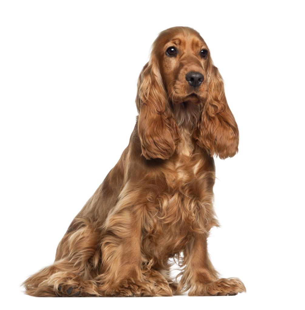 A otite canina. Como detectá-la a tempo