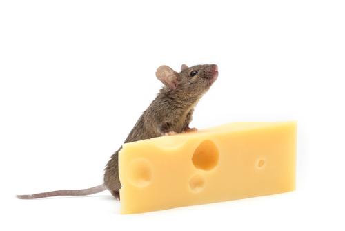 Será que os gatos gostam mesmo de queijo?