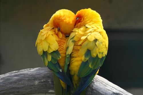 como saber sexo de um papagaio