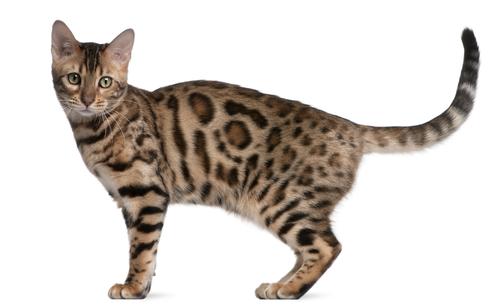 Conheça os sinais corporais do seu gato