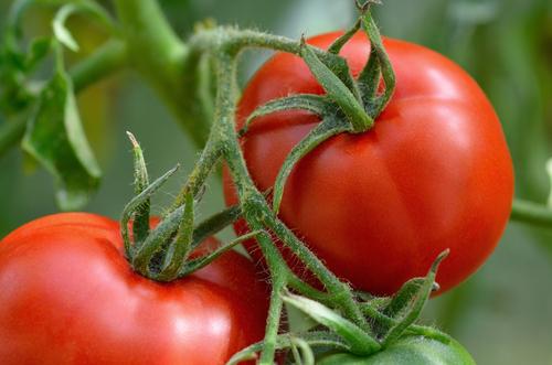 Tomates são veneno para os cachorros