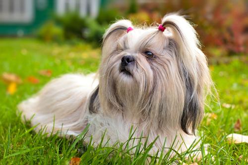 As 10 raças de cachorros que vivem mais
