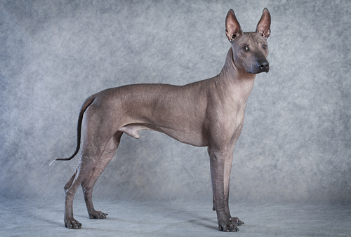 Cachorro da raça Xoloitzcuintle