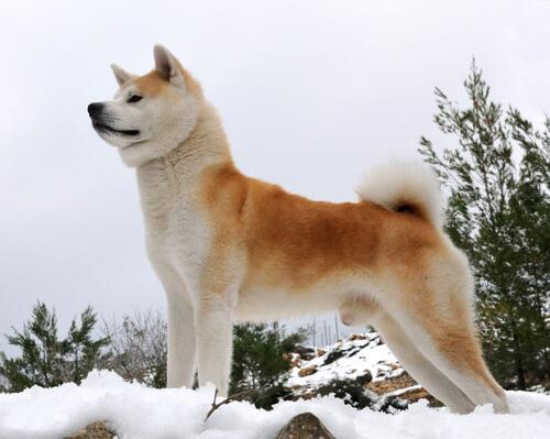 Akita, a raça de Hachiko