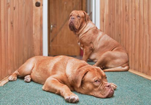 Saiba como controlar a ansiedade dos cães gerada pela separação