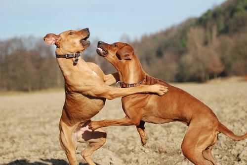 cães-dominantes