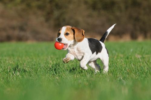 As brincadeiras com os cães ajudam as mulheres grávidas
