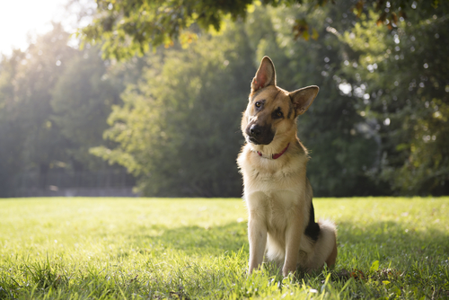 Saiba o por quê um cão sacode muito a cabeça