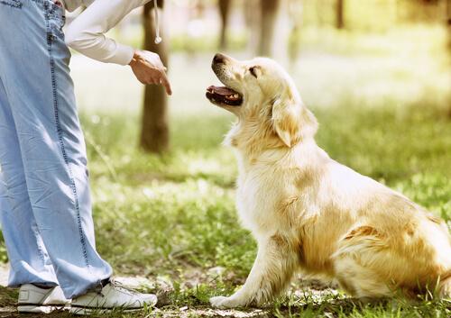 A ordem de espera no treinamento do cão
