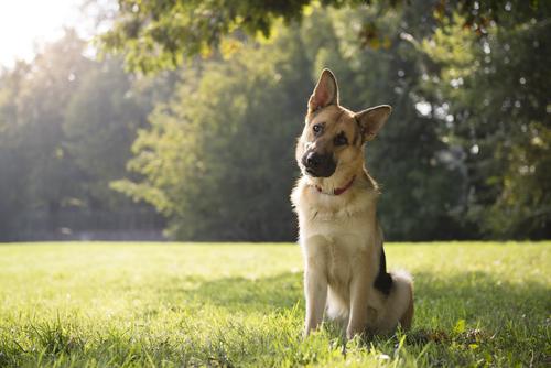 Por que os cães inclinam a cabeça quando ouvem algum barulho?