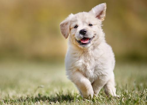 Os cães se comunicam com as expressões faciais, descubra de que forma