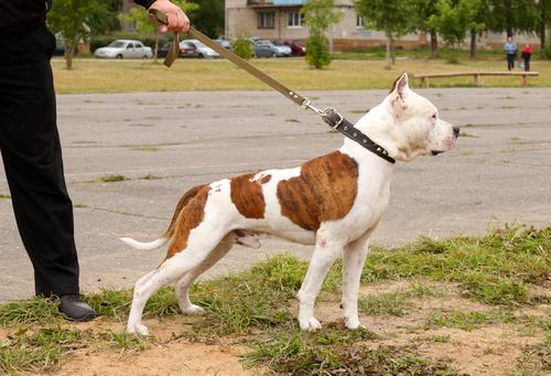 A importância da coleira para os cachorros