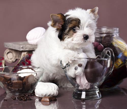 O perigo do chocolate para os cachorros
