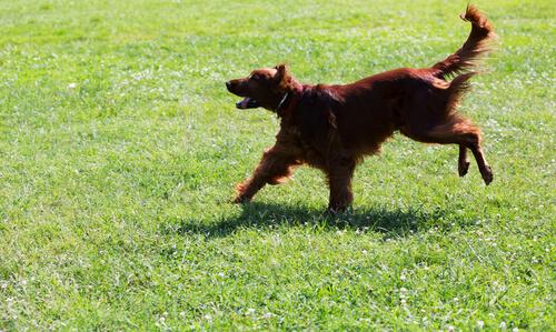 cachorrocorrendo