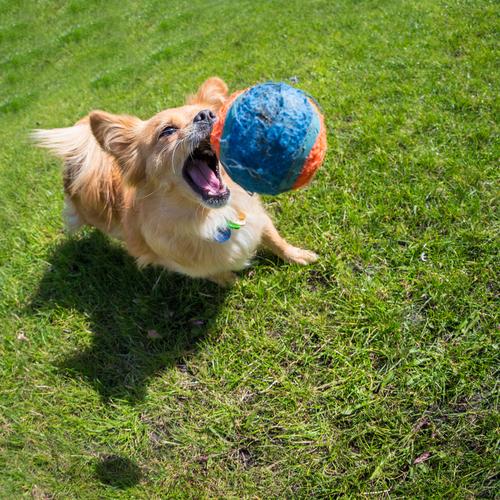 Importância de brincar com seu animal