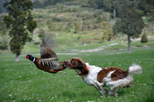 Cães vs. Pássaros