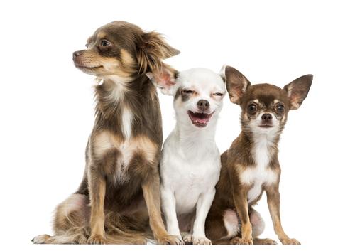 Cachorros da raça Chihuahua