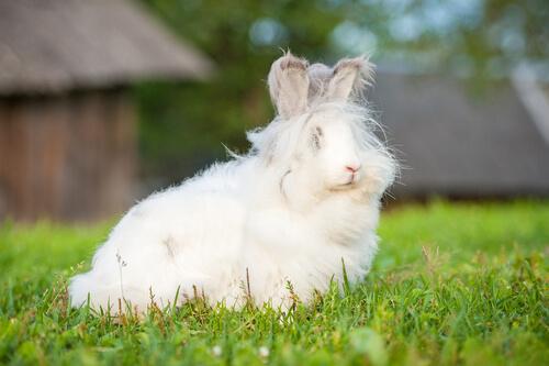 Maus tratos aos coelhos angorá para extrair sua lã