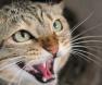 dentes-gato