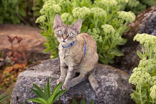 Devon Rex: um gato ativo, dócil e brincalhão