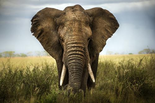 Animais, como os elefantes, correm real perigo de extinção